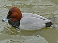 Common Pochard (Aythia ferina) (6950457932).jpg