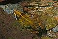 Common River Frog (Amietia angolensis) (33062286181).jpg