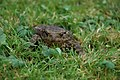 Common Toad (Bufo bufo) - geograph.org.uk - 548799.jpg