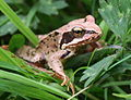Common frog Rana temporaria.JPG