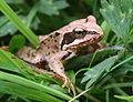 Common frog Rana temporaria.JPG