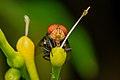 Common green bottle fly.jpg