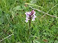 Common spotted orchid - Dactylorhiza fuchsii - panoramio (2).jpg