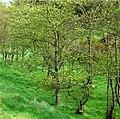 Condie Hill Estate woodland - geograph.org.uk - 425803.jpg