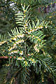 Conifer berries (26498779855).jpg