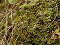Conocephalum conicum jagoke01.jpg