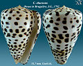 Conus eburneus 1.jpg