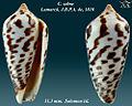 Conus zebra 1.jpg
