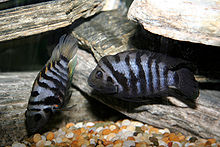 Convicts Cichlids.jpg