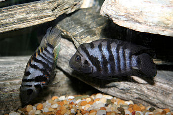 Convict Cichlids. Female on the left, Male on ...