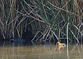 Coot with Chicks (14087634688).jpg