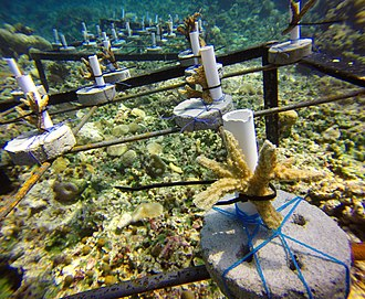 Coral in preparation of being relocated Coral transplant.jpg