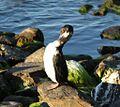 Cormorant in Puerto Natales (5501140455) (2).jpg