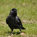 Corvus Monedula Western Jackdaw (32522105).jpeg