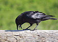 Corvus brachyrhynchos -Carkeek Park, Seattle, Washington, USA-8a.jpg