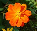 Cosmos sulphureus flower (close-up).jpg