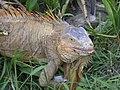 Costa Rica Iguana.jpg