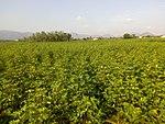Cottonfieldindia.jpg