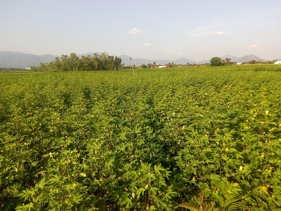 Cottonfieldindia