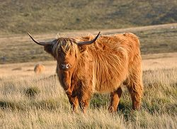 A highland cow on Dartmoor in England