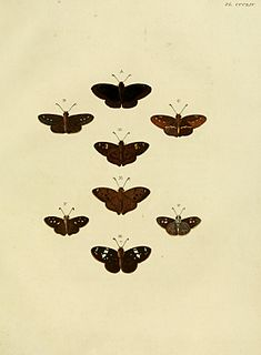 <i>Telemiades</i> genus of insects
