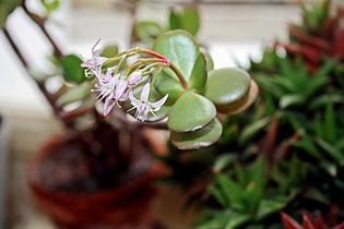 Crassula flowering.jpg