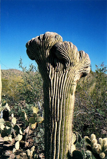 "Some saguaros are cristate or ""crested"" due to fasciation. Crested Saguaro cactus.jpg"