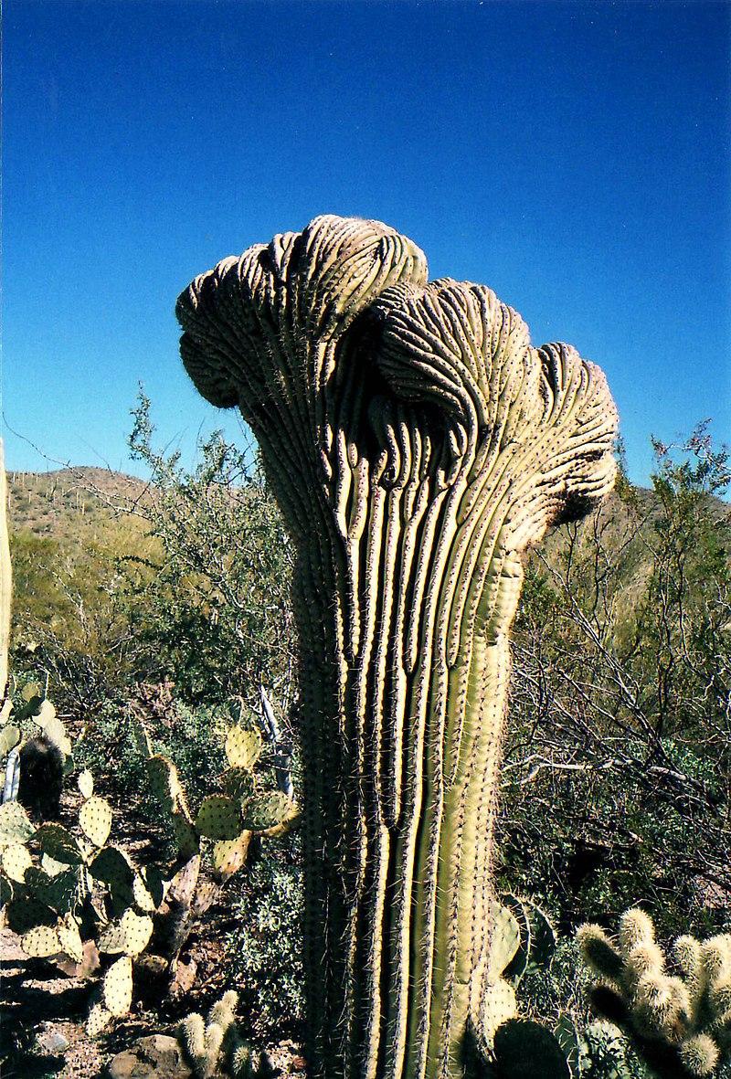 800px-Crested_Saguaro_cactus.jpg