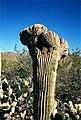 Crested Saguaro cactus.jpg