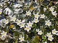 Crested floatingheart (Nymphoides hydrophylla) 20181125 130838.jpg