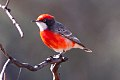 Crimson Chat (Epthianura tricolor) (8079666348).jpg
