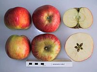 Cross section of Benenden Early, National Fruit Collection (acc. 1954-008).jpg