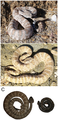 Crotalus mitchellii.png