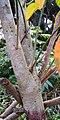 Croton tiglium - Stem with bark.jpg
