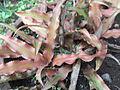 Cryptanthus bivittatus-BSI-yercaud-salem-India.JPG