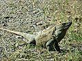 Ctenosaur.jpg
