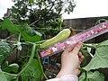 Cucurbita moschata (zapallo espontáneo) flor fruto F05 dia03 orientación (la guía se gira alrededor de la soga con el viento y el peso) regla.JPG