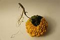 Cucurbita ornamental - Autumn Squash VI.jpg
