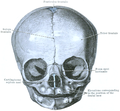 Cunningham's Text-book of Anatomy (1914) - Fig 182.png