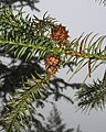 Cunninghamia lanceolata 3.jpg