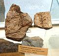 Cunninghamia miocenia fossil - Botanischer Garten, Dresden, Germany - DSC08489.JPG