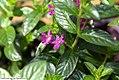 Cuphea rosea Lavender Lace 0zz.jpg