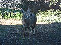 Curious Coyote (11074388083).jpg