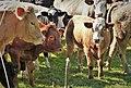 Curious cows (32388667598).jpg