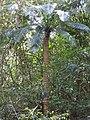 Cycas circinalis-2-mundanthurai-tirunelveli-India.jpg
