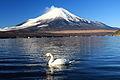 Cygnus olor and Mount Fuji.JPG