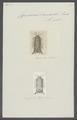 Cymodocea lamarckii - - Print - Iconographia Zoologica - Special Collections University of Amsterdam - UBAINV0274 098 10 0005.tif
