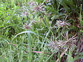 Cyperus congestus 2.jpg