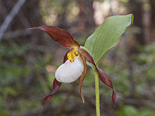 Cypripedium montanum - Flickr 002.jpg