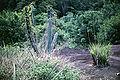Cyrtopodium andersonii and Cereus hexagonus.jpg